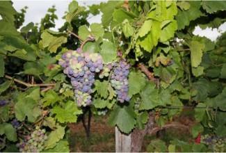 Gode tips om mat og drikke i Balaton, inkl oversikt over vingårder i området!